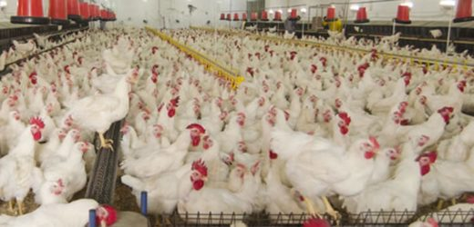 Poultry farming business is an excellent opportunity for small-time farmers!