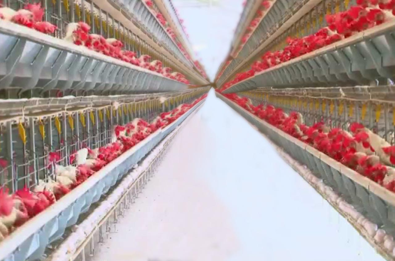 High poultry feed prices to affect negatively on profit margins of poultry farms business.
