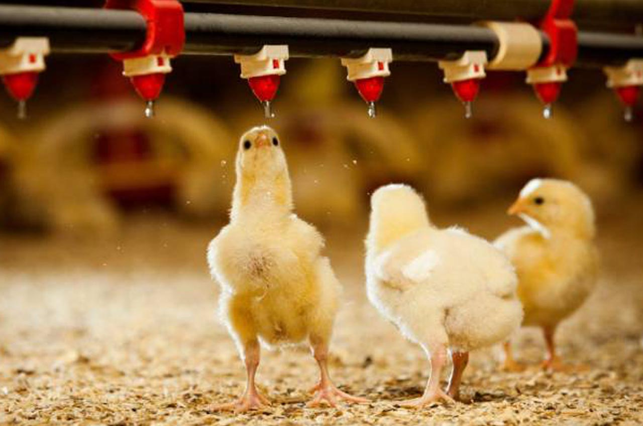 School of Agriculture has started a new course in Poultry Farming.